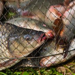 Карп – один из желанных трофеев отечественных рыболовов
