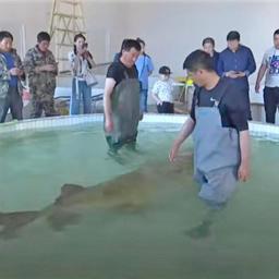 Китайский рыбак выловил в Амуре гигантскую калугу. Фото канала CGTN