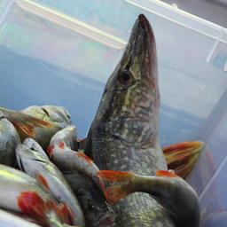 Суточные нормы добычи для рыбаков-любителей Астраханской области удвоены по ряду объектов