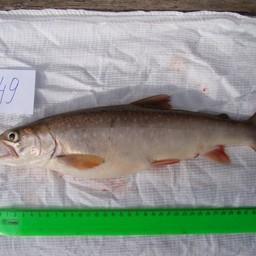 Боганидский голец получил неофициальный титул «самой полезной в мире рыбы». Фото пресс-службы СФУ