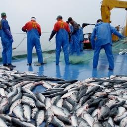 Использование дрифтерных сетей на промысле лососей запрещено с 2016 г.
