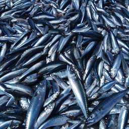Научный улов скумбрии. Фото пресс-службы ТИНРО